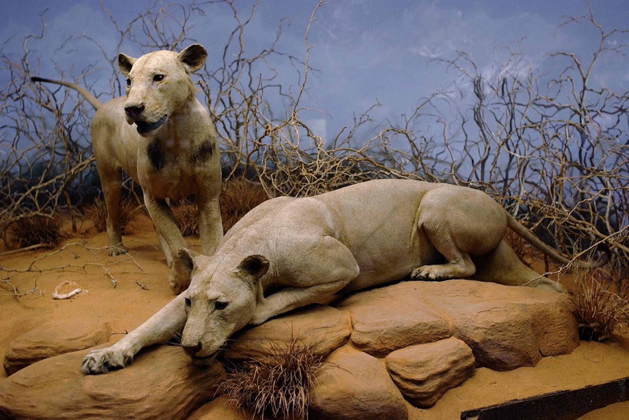 אריות אוכלי אדם בשיקגו